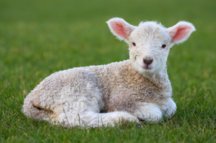 Chilled-Lamb